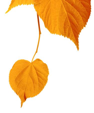 basswood: Autumn tilia leafs isolated on white background Stock Photo