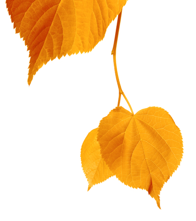 yellowed: Yellowed autumnal leaves isolated on white background