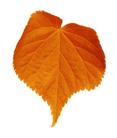 tilia: Autumn tilia leaf. Isolated on white background Stock Photo