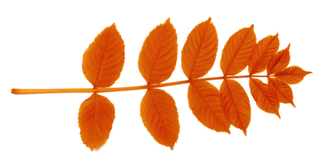 sorbus: Autumnal sorbus leaves. Isolated on white background