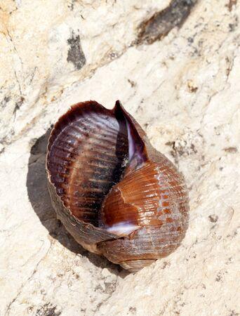 tun: Very large live sea snail (Tonna galea) on rock in sun summer day Stock Photo