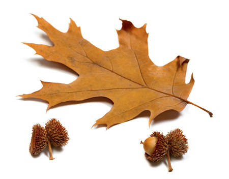 gabled: Autumn dried leaf of oak and acorns. Isolated on white background. Selective focus.