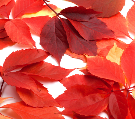 Scattered red autumn leaves. Virginia creeper leaves. Natural background.