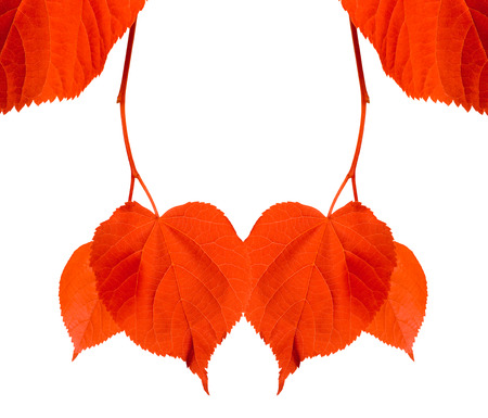 tilia: Red tilia leaves isolated on white background with copyspace Stock Photo