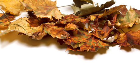 Autumn dry maple leafs. Isolated on white background with copy space. Stock Photo