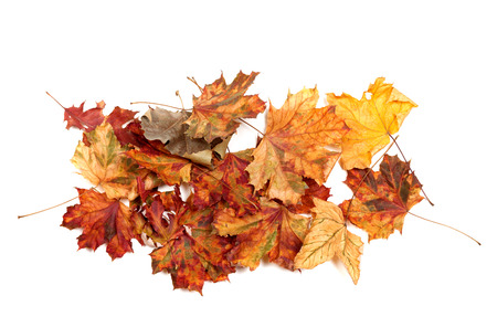 Autumn dried multicolor maple leafs. Isolated on white background. View from above.