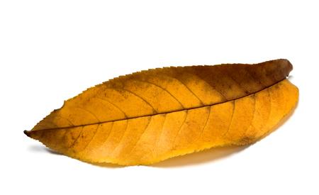 Yellow autumn walnut (Juglans regia) leaf. Isolated on white background. Close-up view.
