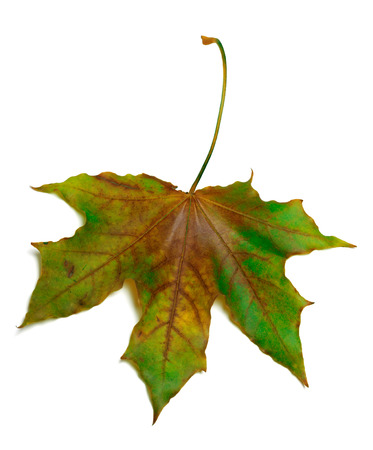 Dried multicolor maple-leaf. Isolated on white background. Stock Photo