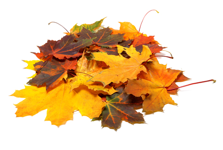 Pile of autumn multi colored maple leaves. Isolated on white background. Stock Photo