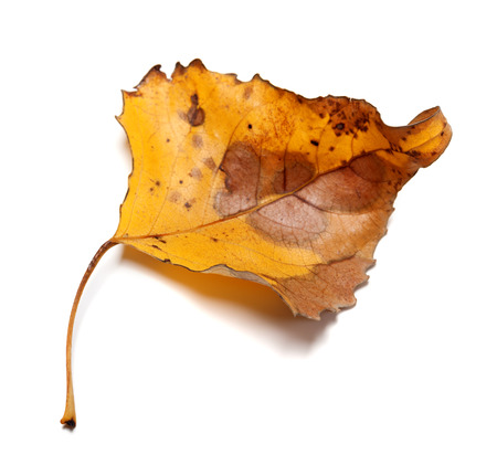 Autumn yellow leaf isolated on white background. Close-up view.