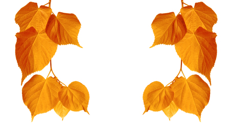 Autumn tilia leaves isolated on white background with copy space