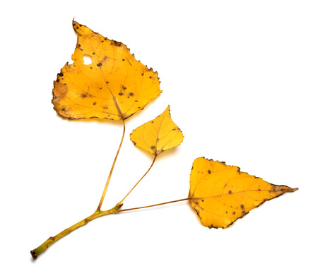 Yellow autumn leaves on poplar twig. Isolated on white background.