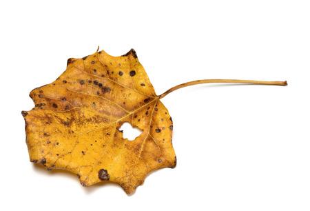 aspen leaf: Autumn dry quaking aspen (Populus tremula) leaf. Isolated on white background. Stock Photo