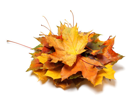 Pile of autumn maple leaves. Isolated on white background. Stock Photo
