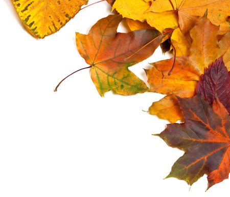 Autumn multicolor maple leaves. Isolated on white background with copy space. View from above.