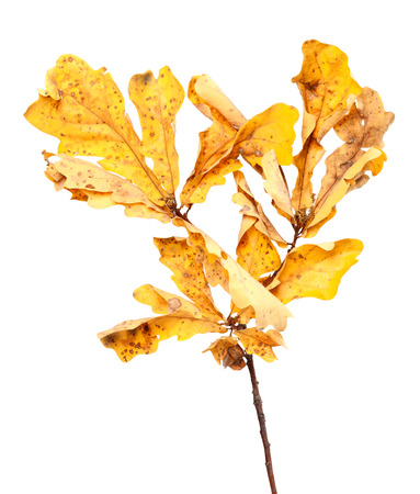 wizen: Yellow dried autumn leaves on oak twig. Isolated on white background.