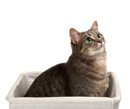 ojos verdes: Gato gris con los ojos verdes se sienta en cesta y mirando hacia arriba. Aislado en el fondo blanco. Foto de archivo