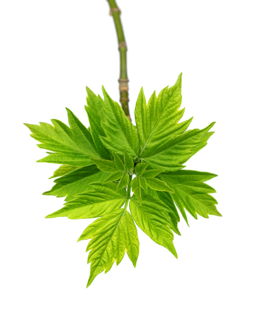 spring green: Spring twigs of maple ash (acer negundo) with young leaves. Isolated on white background.