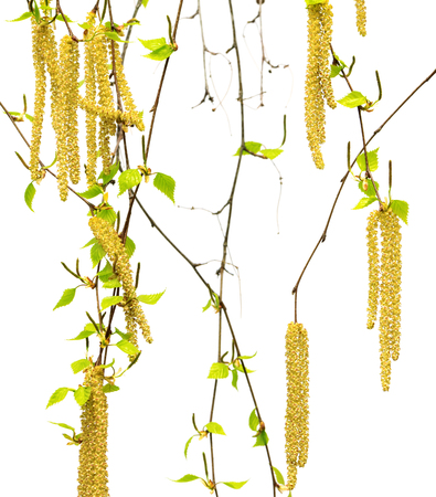Spring twigs of birch with young leaves and catkins. Isolated on white background.