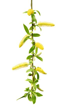 Spring twigs of willow with young green leaves and yellow catkins. Isolated on white background.