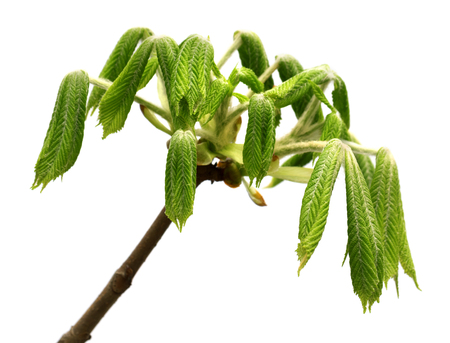 Spring twigs of horse chestnut tree (Aesculus hippocastanum) with young green leaves. Isolated on white background.