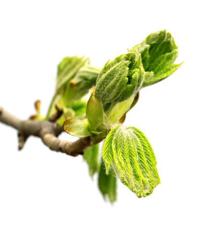 Spring twig of horse chestnut tree (Aesculus hippocastanum) with young green leaves. Isolated on white background.