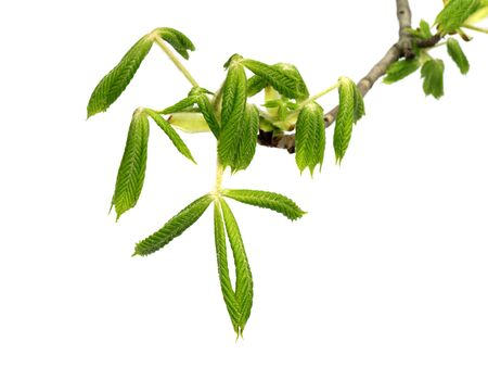 Spring branch of horse-chestnut tree (Aesculus hippocastanum) with young green leaves. Isolated on white background. Stock Photo