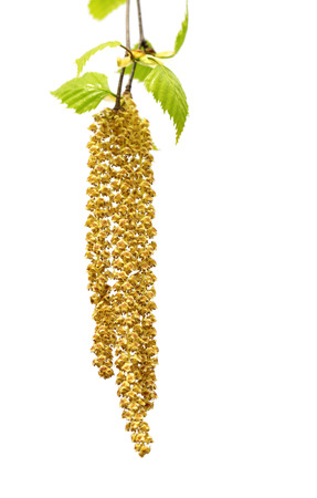 Spring twig of birch with young leaves and catkins. Isolated on white background. Selective focus.