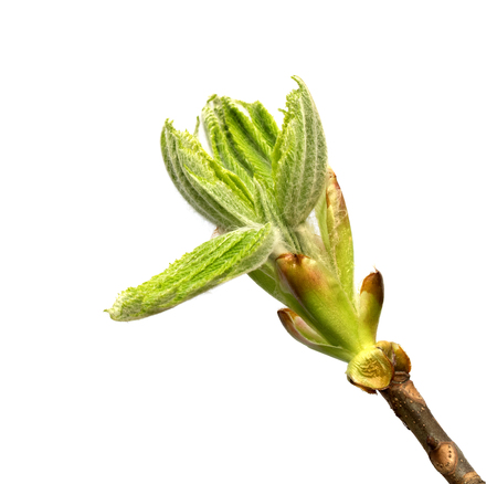 Spring twig of horse chestnut tree (Aesculus hippocastanum) with young green buds. Isolated on white background. Close-up view.