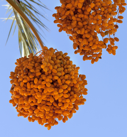 Date palm (Phoenix dactylifera) with bunches of ripening fruit. Close-up view.