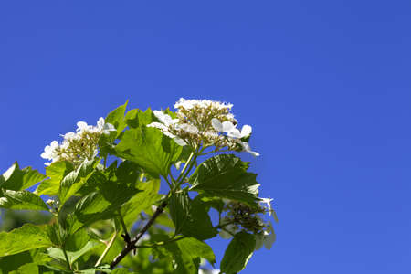 Flowering spring twigs of viburnum opulus (guelder-rose) with young leaves and flower against blue clear sky