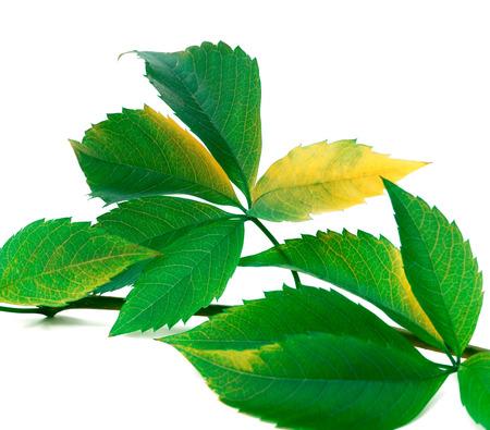 Green twig of grapes leaves (virginia creeper foliage) Stock Photo