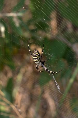 Spider on spiderweb in summer. Argiope bruennichi or wasp spider. Stock Photo