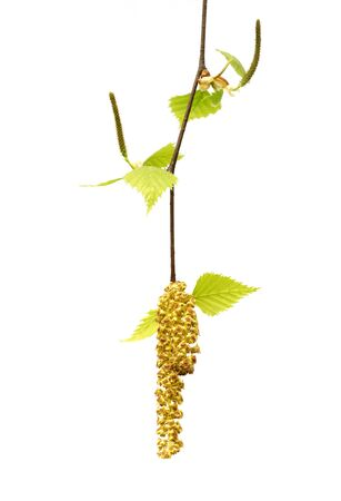 Spring twig of birch with young leaves and catkins. Isolated on white background.