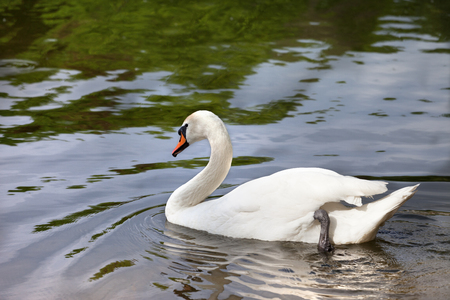 Mute swan on water surface in sun summer day