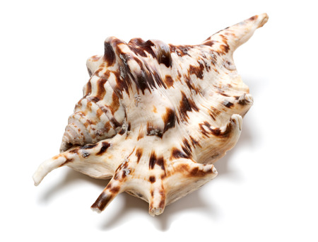 Lambis tiger shell isolated on white background. Close up view. Stock Photo