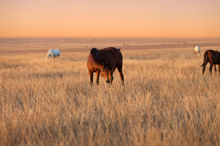 Herd of horses grazing in evening pasture at summer sunset Stock Photo