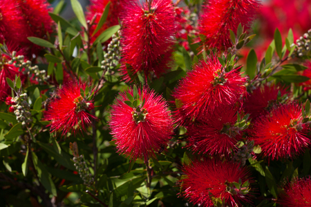 Blossoming flowers of callistemon at sun spring day. Selective focus.