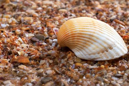 Seashell on wet sand at beach Stock Photo