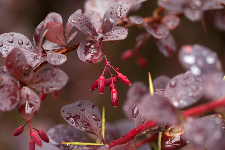 Wet twigs of red barberry (Berberis thunbergii) with fruit after rain