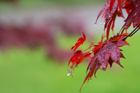 Leaves of red Japanese-maple (Acer japonicum) with water drops after rain on green natural background Stock Photo