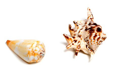Two exotic seashells isolated on white background with copy space