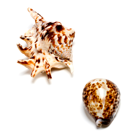 Two exotic seashells isolated on white background with copyspace