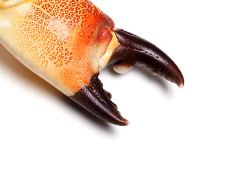 Cooked claw crab at corner. Isolated on white background. Close-up view. Stock Photo