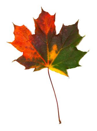 Autumn multicolored maple leaf. Isolated on white background.