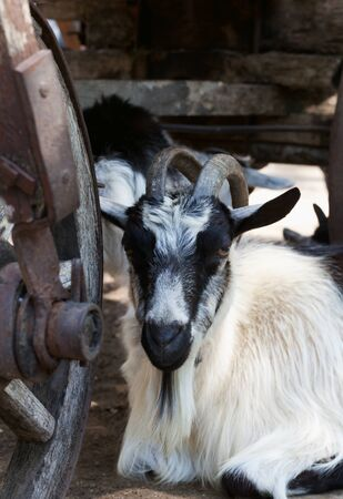 Black and white goat resting under old wooden cart at hot summer day