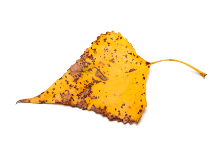 Spotted autumn leaf of poplar isolated on white background. Close-up view.