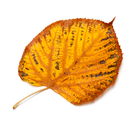 Dried autumn tilia leaf isolated on white background Stock Photo