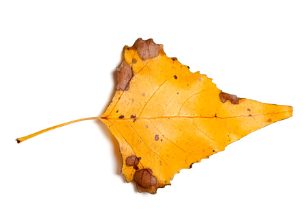 Autumn yellow leaf of poplar isolated on white background. Close-up view from above.