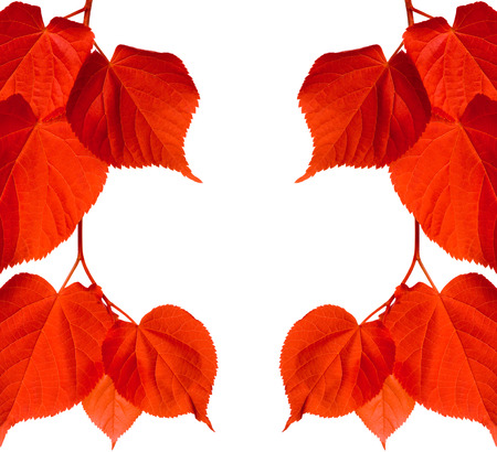 Red tilia leaves. Isolated on white background with copy space